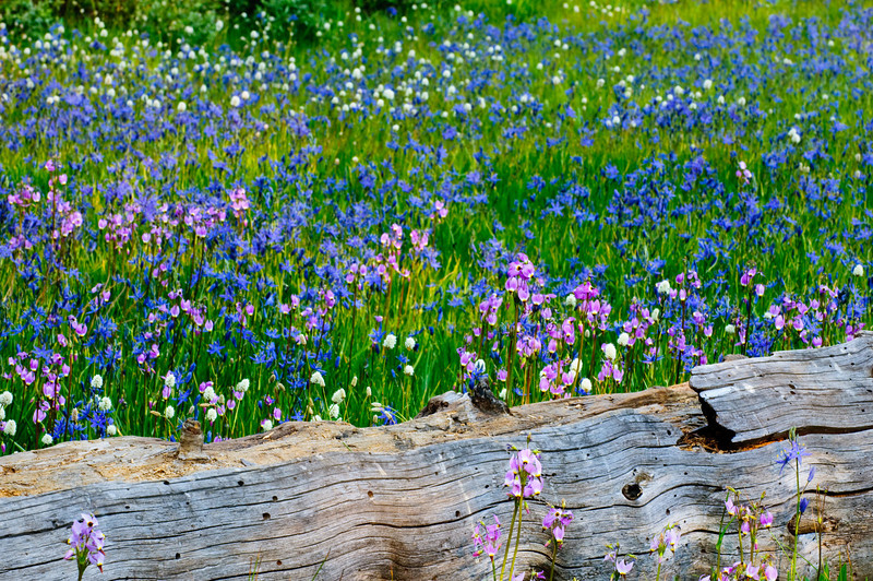Summer Wildflowers along the log in Yosemite