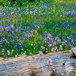 Summer Wildflowers along the log in Yosemite