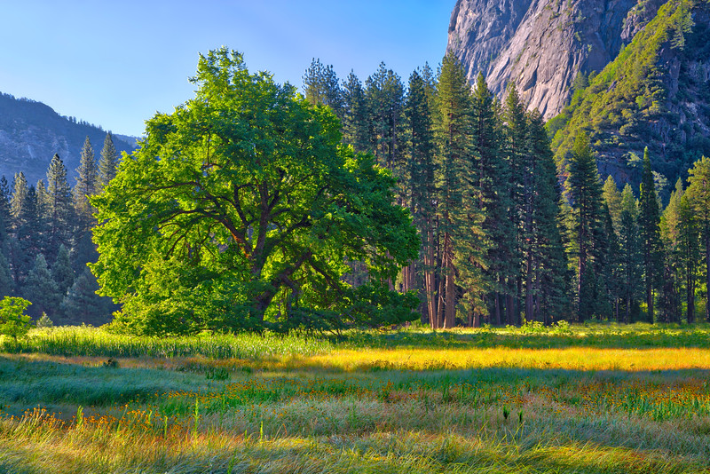 """""""Elm in Cooks Meadow in Yosemite National Park"""""""