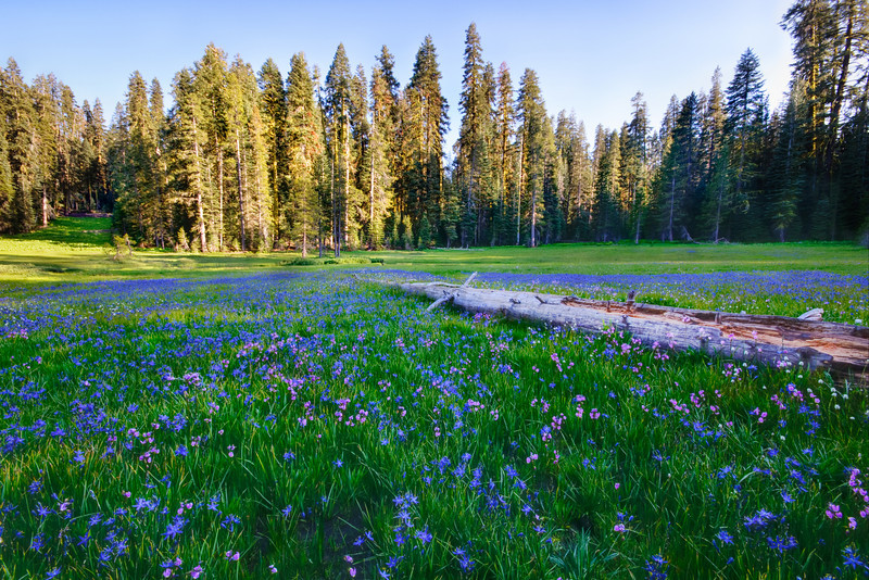 Yosemite Summer Wildflowers 5965.  I captured this while up on the Glacier Point Road.  A beautiful meadow with blue and purple wildflowers (if you know what they are, please let me know!) and this nice log reaching across.  It was another one of those perfect places to be and reflect on how peaceful it was.  The perfect place to be on a Friday afternoon.