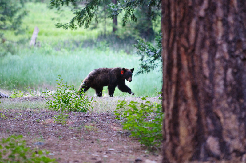Just a baby bear looking for berries.  I took this on my way out of the park. (This is with a long lens so I wasn't too close!)  Cute little guy.