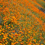 Field of California Poppies.  The poppies are absolutely amazing this year along the Merced river near Yosemite along Highway 140.