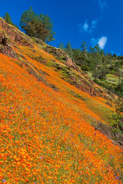 """Spring Poppies in Yosemite National Park"""