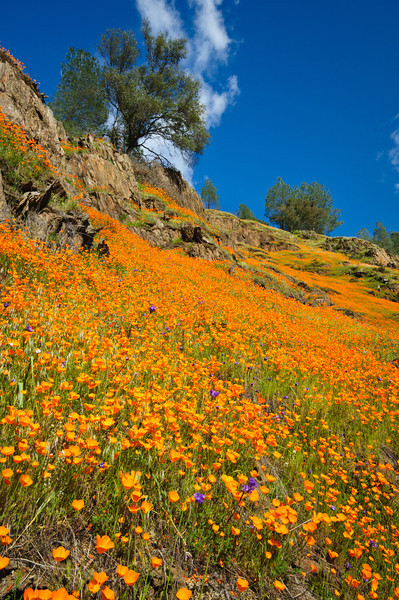 """""""Spring Poppies in Yosemite National Park""""   Poppies are just amazing in the Spring near Yosemite National Park.  With waterfalls flowing and spring flowers popping out, it is the perfect time to visit Yosemite National Park!"""