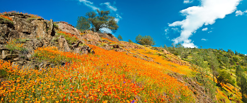 """""""California Poppies near Yosemite National Park"""" I love nothing more than spring in Yosemite as the poppies start coming out!! Depending on the year the poppies can go from being just a few patches to golden carpets from the bottom to the top of hills! These were captured along highway 140 into Yosemite a couple of years ago when it was just breathtaking to see how many poppies were everywhere! Who is ready to go to Yosemite?! This is a panorama comprised of 6 images to make a poppy panorama!  Please share if you enjoy and share if you make it to YOSEMITE!   Copyright John Harrison Photography  — at Yosemite National Park."""