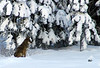 WOLF IN SNOW3