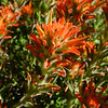 Indian Paintbrush and friend.