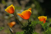 California Poppies near Pismo Beach Ca., at the Monarch Butterfly viewing area, Feb 15, 2010.