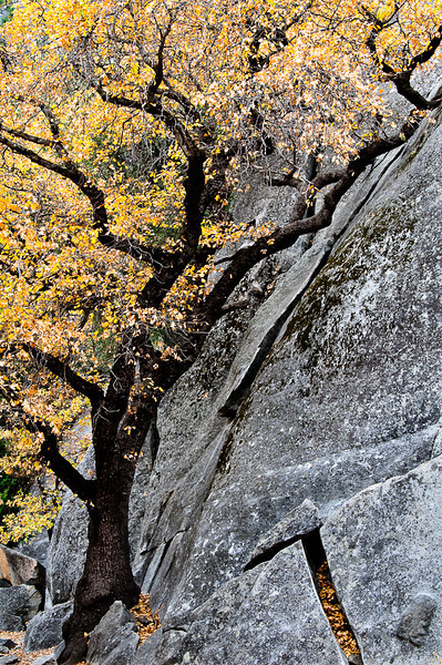 Arching Tree and Granite