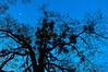 Moonrise over the Old oak