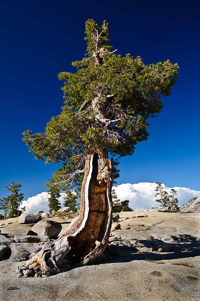 Bristle Cone Pine Tree - Olmstead Point