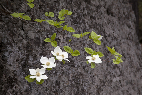 Dogwood and Granite