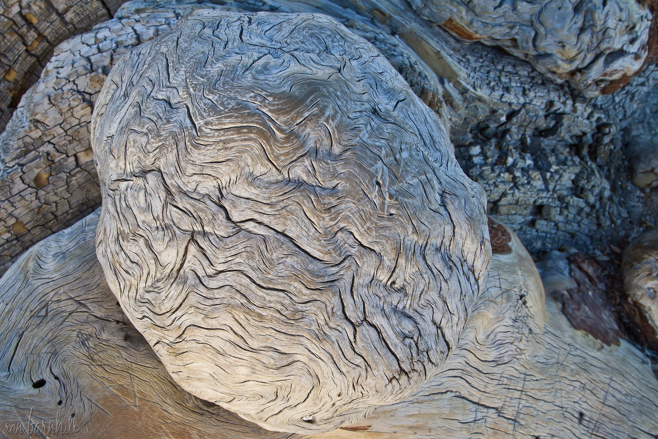 """Brain"" of Jeffrey Pine"