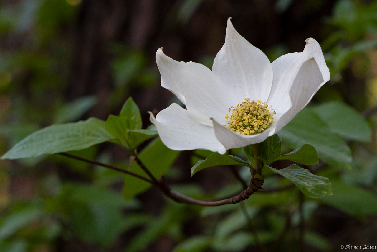 Dogwood blooming - Yosemite