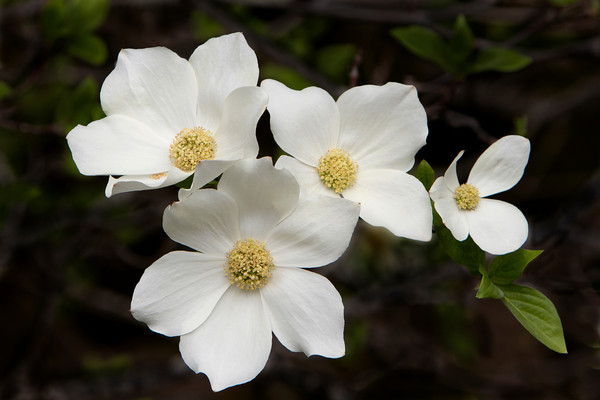 Dogwood Blossoms in Yosemite