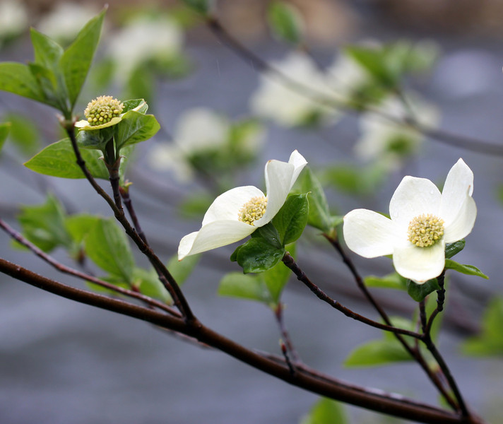 dogwoods with river in background