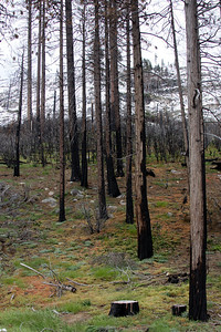 along hwy 120, burn area and new growth