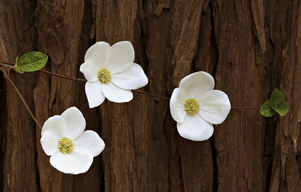 Dogwood and Cedar, Yosemite National Park