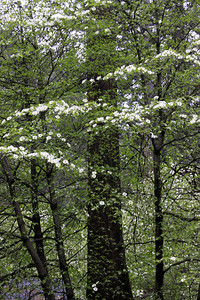 dogwood at housekeeping camp