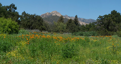 Wildflowers set below the mountains of Santa Barbara