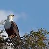 Fish eagle surveying the Chobe River.