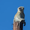 Vervet monkey on roof post