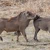 Courtship warthog style