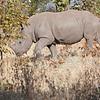 Young Rhinoceros