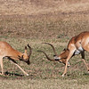 Male Impala sparring for dominance.