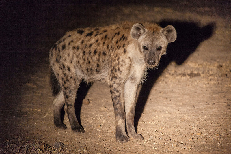 Spotted hyena interrupted while searching for food.