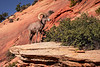 zion-big horn sheep-7958