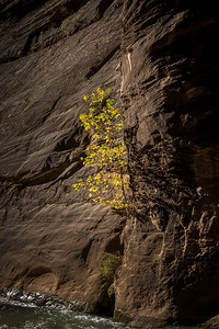 Baby yellow tree - Zion