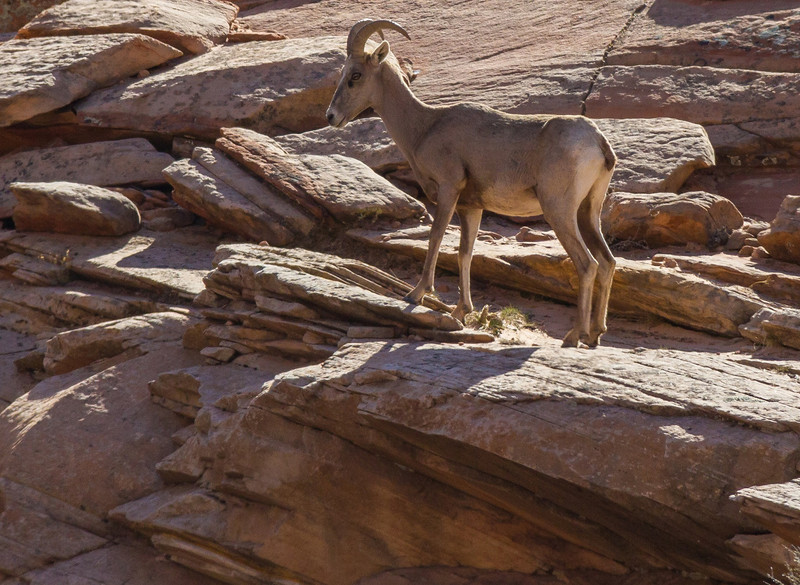 Immature Bighorn Sheep along main entrance road from the East Portal. Zion National Park. Distance was about 40 yards.