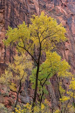 Cottonwood Against Sandstone Cliffs - Zion National Park - Utah