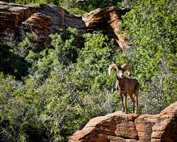 Big Horn Mount<br /> <br /> All along the east side of the park are herds of big horn sheep.  Here a ram stands proudly upon his mount surveying his domain.<br /> Zion National Park, Utah, USA