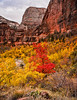 Saddle Maple<br /> <br /> Just below Angle's Landing, with The Great White Throne peaking through, a lone maple tree shows off its autumn colors<br /> <br /> Zion National Park, Utah, USA