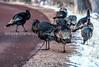 A Rafter Of WIld Turkeys