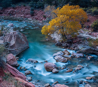 Cottonwood tree along the Virgin River in Zion National Park, Utah.