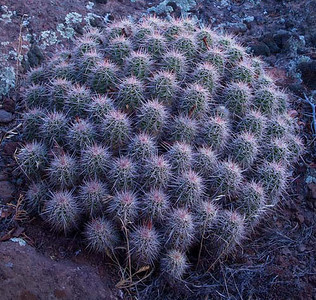 Prickly Button
