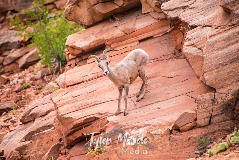 1434  G Bighorn Sheep
