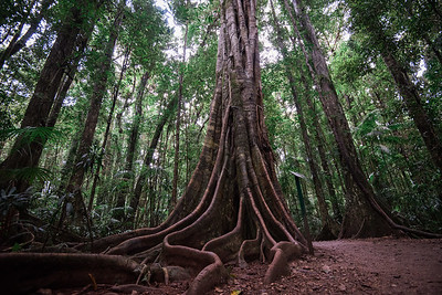 Roots, Mary Cairncross Scenic Reserve Australia