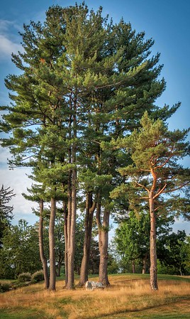 Stand of Pine