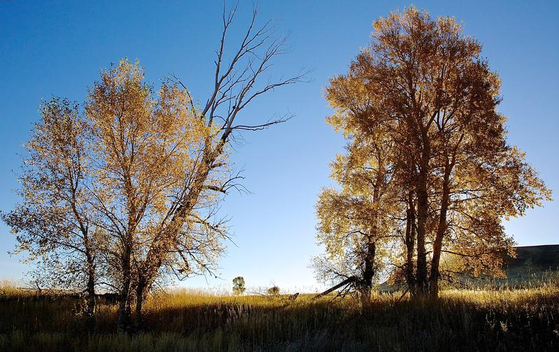Golden Dawn In The Trees.  Near Livingston, Montana