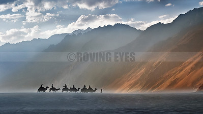 A20:Bactrian Camels doing the rounds with tourists through the haze at Hunder Sand Dunes, Nubhra Valley, Ladakh
