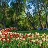 Blooming tulips at the Hatanpää arboretum