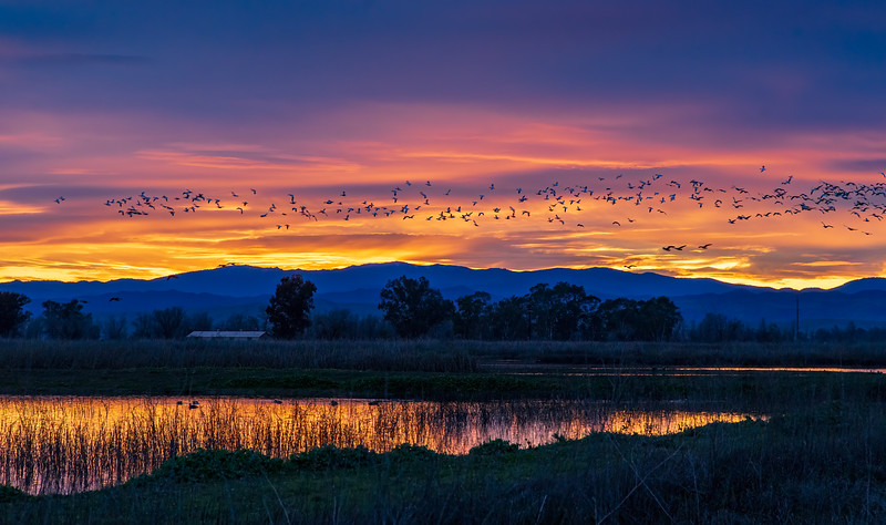 Snow Geese at Sunset 1