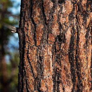 Pine Bark 2