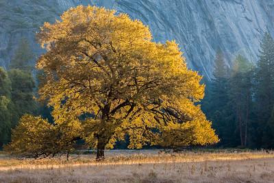 Elm tree in Cooks Meadow