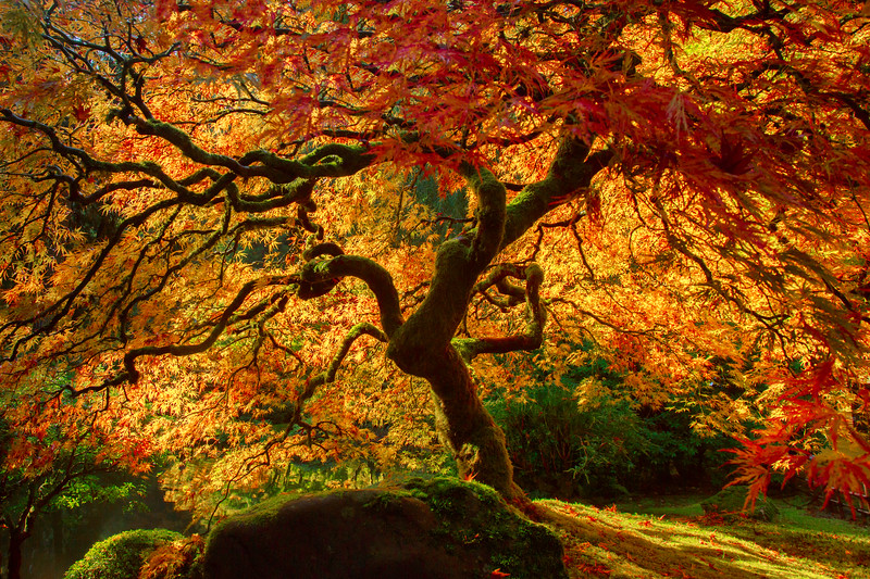 Japanese Maple Tree 1