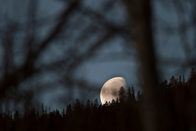 The moon sets through the trees in the morning of a beautiful summer day in central Colorado.